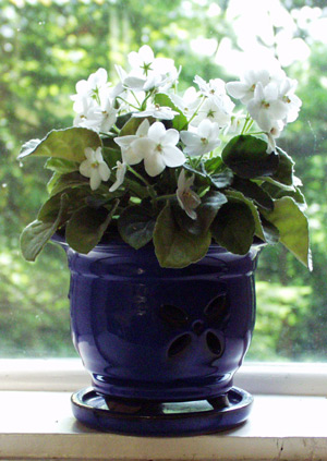 African Violet propagated from a leaf cutting.