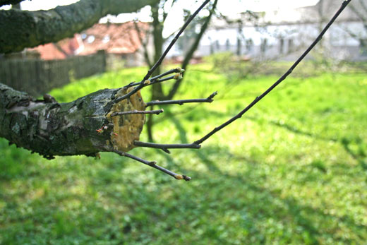 Apple Tree Graft