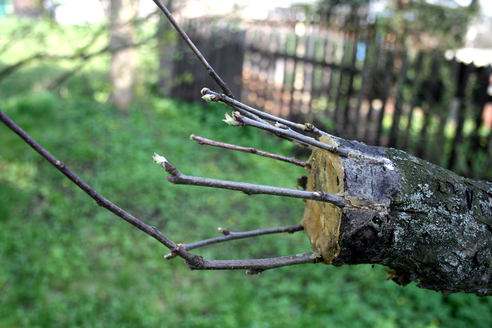 How to Graft an Apple Tree