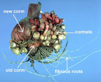 Figure 10: Exemplifies the Old and New Corms. (5)