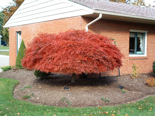 Japanese Red Laceleaf Maple Tree